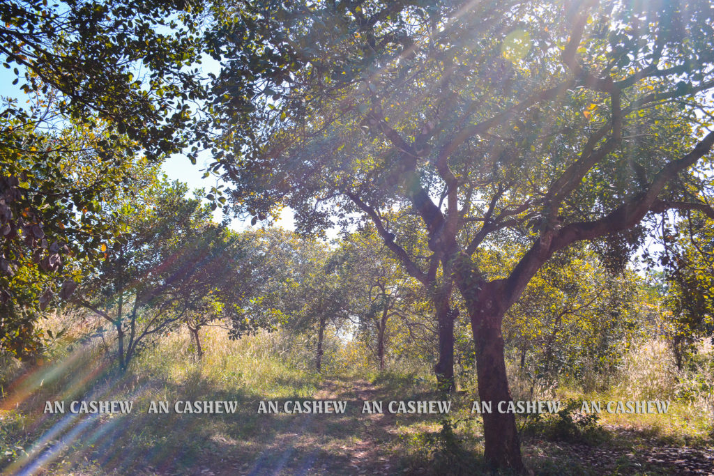 Vườn điều ở Bình Phước